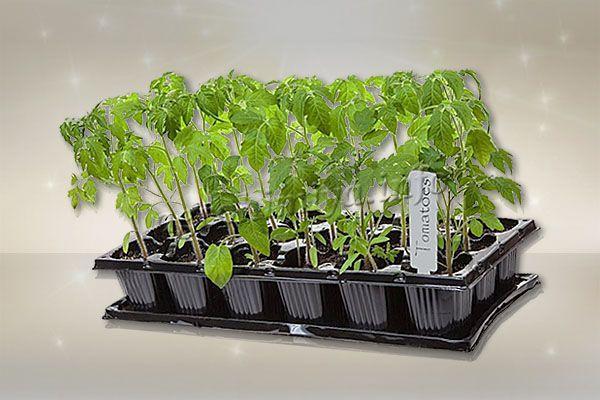 Получить богатый здоровый урожай томатов без здоровой рассады невозможно