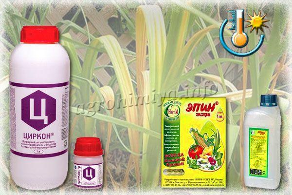 После весенних заморозков чеснок необходимо обработать препаратами «Циркона» или «Эпина»