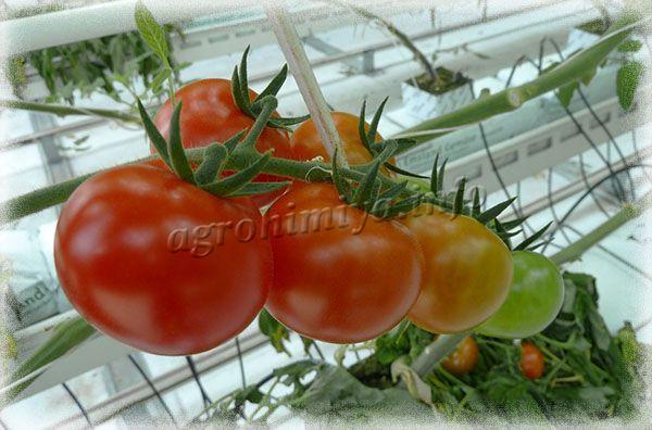 Последняя подкормка томатов за сезон делается во время массового плодоношения
