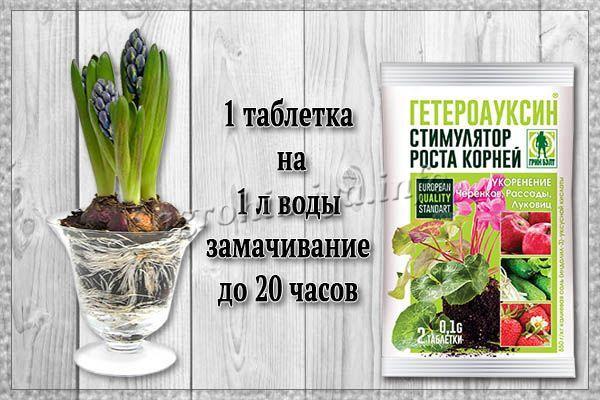 Применение Гетероауксина для обработки цветочных луковиц