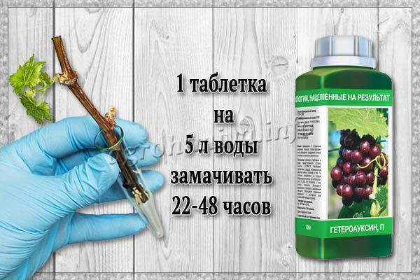Применение Гетероауксина для замачивания винограда