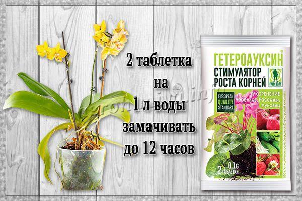 Применение Гетероауксина как восстанавливающее средство для орхидей
