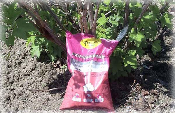 Ранней весной под черную смородину насыпают 10-15 г нитроаммофоски