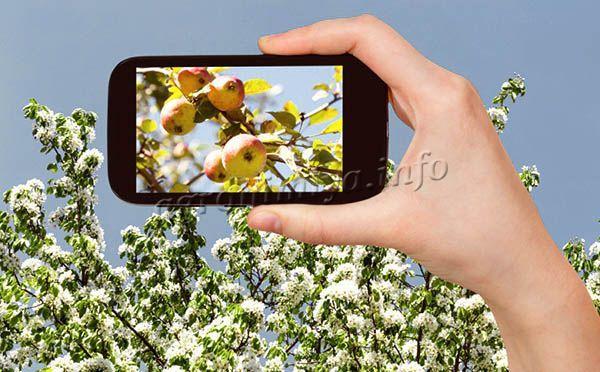 Своевременно подкормленная весной яблоня рано цветет и реже болеет