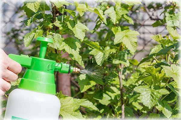 Внекорневые подкормки – это, по сути, простое опрыскивание кустов по листьям