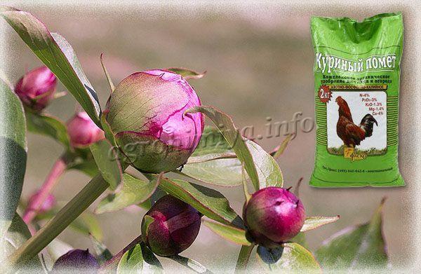 Во время бутонизации пионы нередко подкармливают куриным пометом для обильного цветения