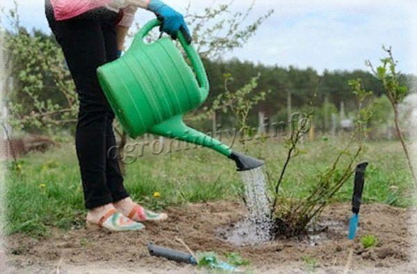 Вторая подкормка нужна весной во время распускания листьев