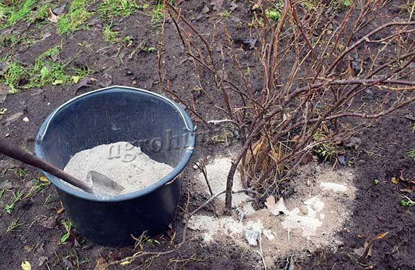 Золу используют как удобрение для смородины весной или во время посадки