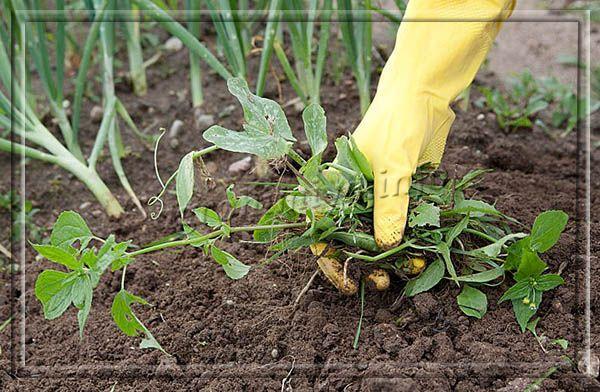 Чаще всего для приготовления зеленого удобрения используют сорные травы, которые растут на участке