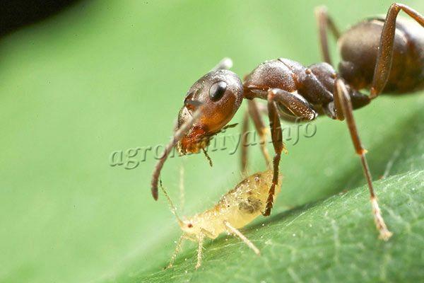 Чтобы проблем с тлей на участке не было, нужно выводить муравьев