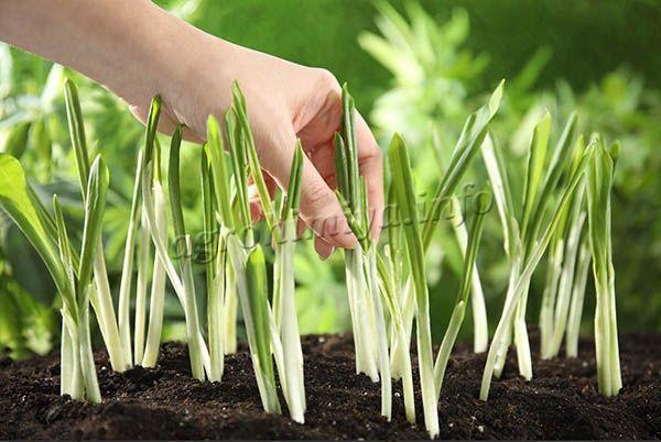 Дикий чеснок можно выращивать на участке