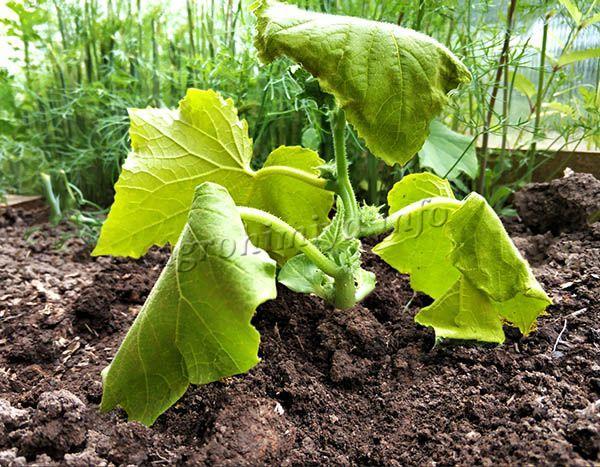 Если рассаде недостаточно азота или иных веществ, у нее начнут желтеть листья