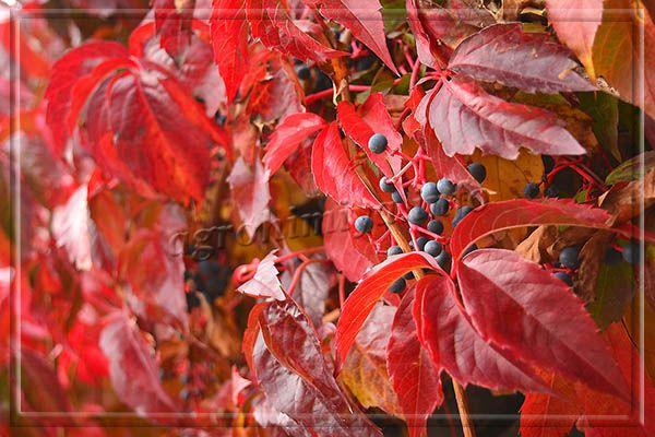 Фото пятилисточкового девичьего винограда