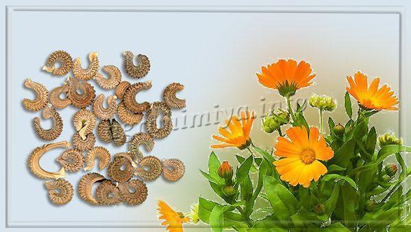 Фото семян бархатцев