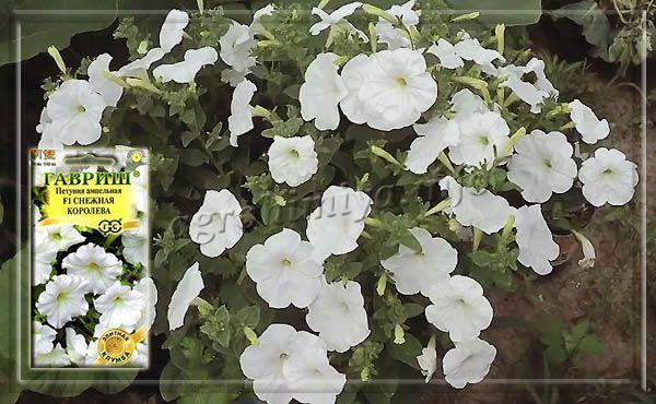 Фото сорта ампельной петунии «Снежная королева»