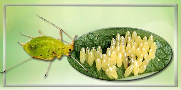 Личинки развиваются 1 неделю, но уже с рождения вредят растению