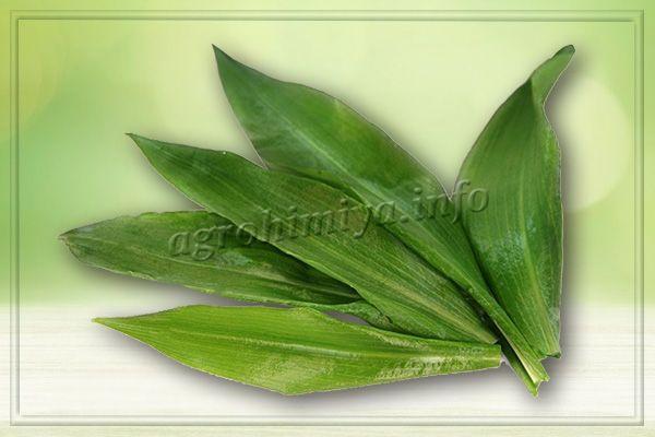 Листья имеют широкую, вытянутую форму, внешне очень напоминают листья ландыша