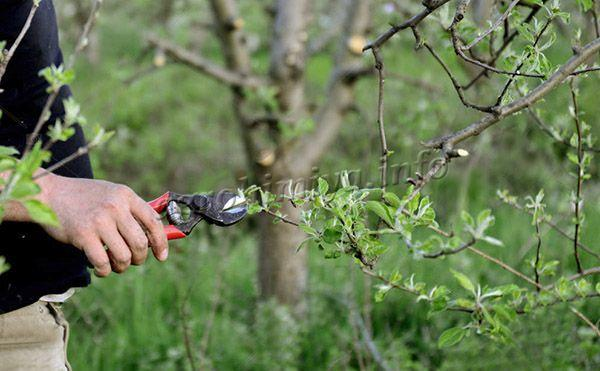 Механический метод уничтожения тли на яблоне