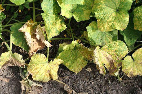 Мучнистая роса являются нередкой причиной пожелтения листьев на огурцах