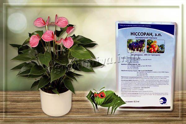 Ниссоран – гормональный препарат от паутинного клеща на комнатных растениях