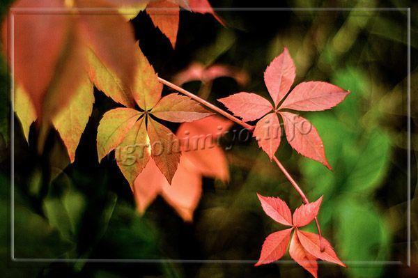 Осенью Девичий виноград меняет цвет на багряный, что очень красиво смотрится