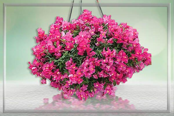 Особым спросом пользуются ампельные сорта, которые можно выращивать в подвесных кашпо