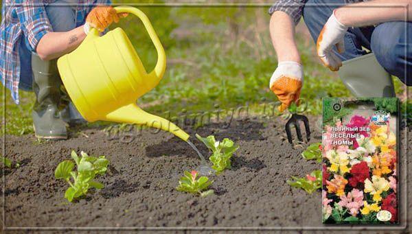 Посадка рассады в открытый грунт проводится с последних дней мая или в начале лета