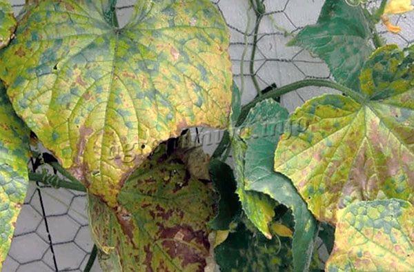 При недостатке калия и фосфора наблюдается изменение цвета листвы