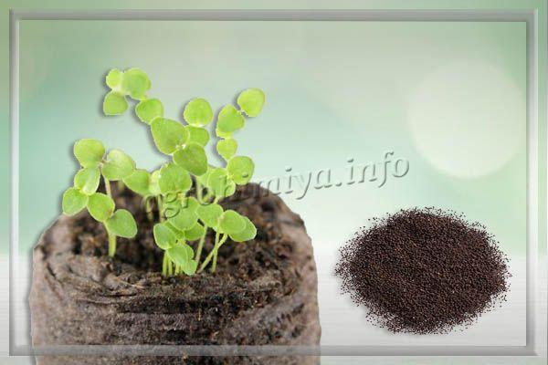 Семена на рассаду сеют в первые дни весны
