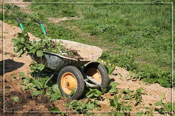 Сорняки просто вырывают и, не сортируя, сразу же используют для приготовления питательной подкормки