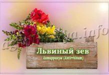 Цветок Львиный зев