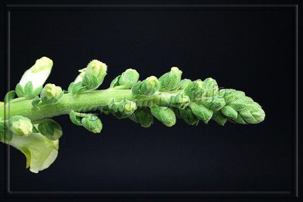 Цветы Львиного зева растут в кистевых соцветиях