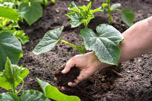 Удобрения под корень вносят на землю, под растения