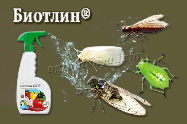 Биотлин хорошо справляется с тлей, белокрылками, цикадами, трипсами, яблоневыми цветоедами и подобными вредителями