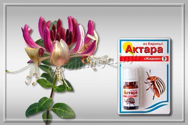 Избавиться от насекомых можно обработав кустарники инсектицидами вроде «Конфидор», «Актара», «Биотлин».