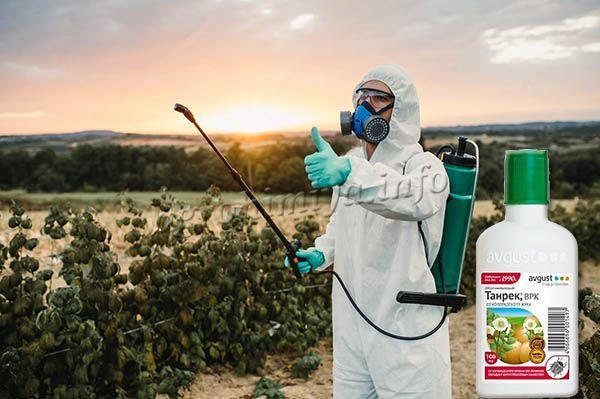 Опрыскивания растений инсектицидом Танрек проводятся в сухую погоду, на закате или ранним утром