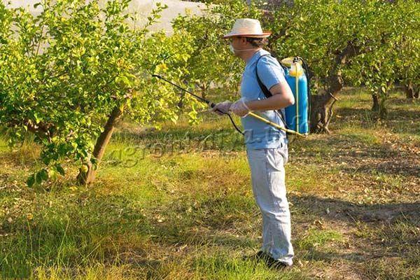 Плодовые деревья опрыскивают во время бутонизации, после цветения и через 2 недели после второй обработки