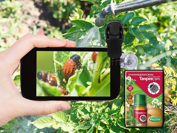 Танрек эффективен против разных вредителей, включая и колорадского жука