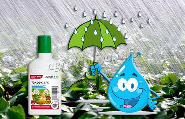 Танрек не вымывается дождями и поливами