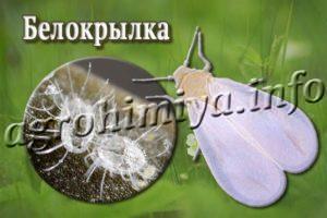 Белокрылка на растениях