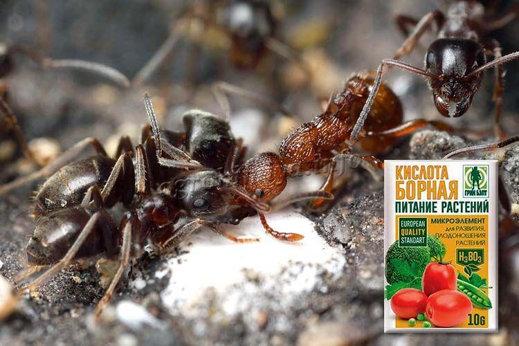 Борная кислота - эффективное средство от муравьев