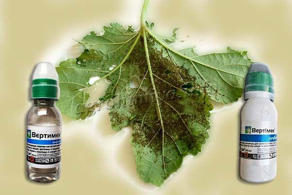 Для уничтожения трипсов на ягодных кустарниках на 10 л воды берется 5 мл препарата