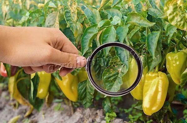 Если на растениях много трипсов, оно начнет сильно искривляться и деформироваться
