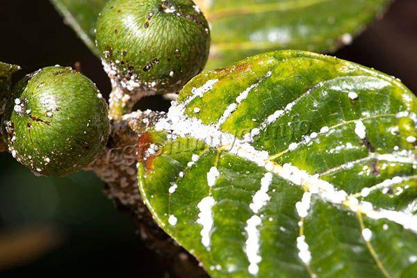 Фото червеца на листьях инжира