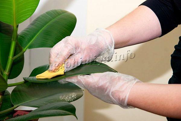 Фото механической очистки фикуса от белокрылки