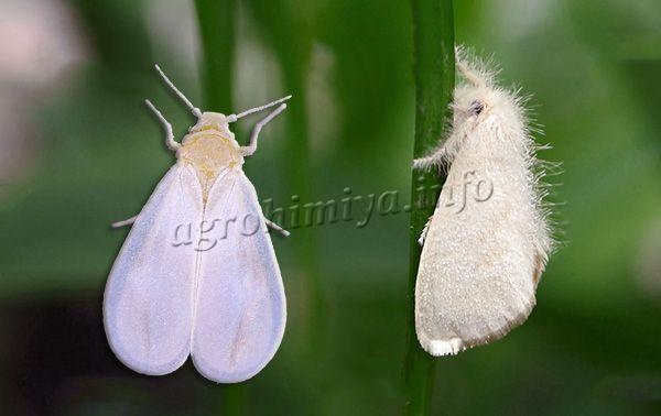 Крылья у Белокрылки удлиненные, белого цвета, по форме напоминают лепестки ромашки