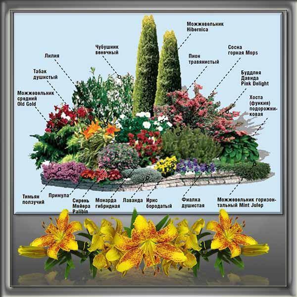 Лилии в ландшафтном дизайне С какими растениями уживается лилия