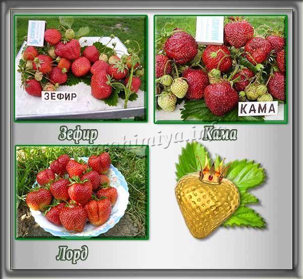 Лучшие урожайные сорта клубники