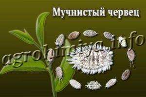 Мучнистый червец на растениях
