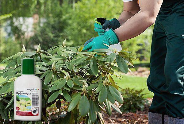 Обработка растений проводится методом опрыскивания